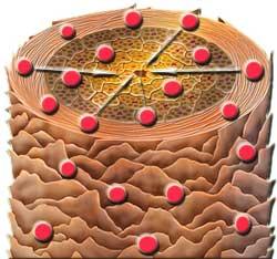 Принцип работы молекулы активного кислорода